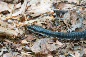 Rat Snake - Porter's Creek Trail - GSMNP, TN