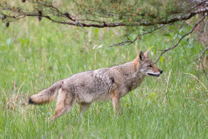 Coyote - Cades Cove - GSMNP, TN