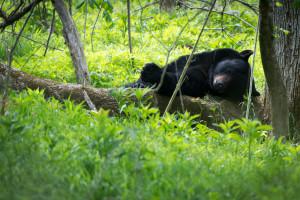 Black Bear - Cades Cove - GSMNP, TN