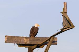 Bald Eagle - Blackwater National Wildlife Refuge, MD