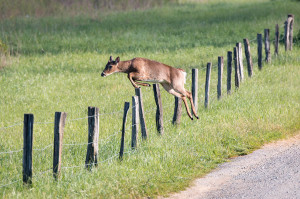 Deer - Cades Cove - GSMNP, TN