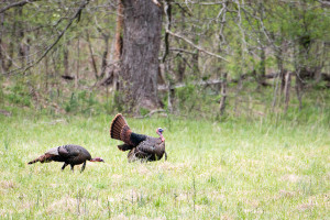 Wild Turkey - Cades Cove - GSMNP, TN