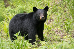 Black Bear - Cades Cove - GSMNP, TN