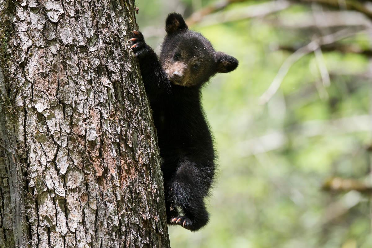 Baby Bears! | WP3 Photography - photo#33