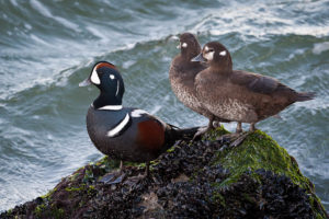 Harlequin Ducks at Barnegat Light - 2012