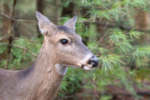 White-Tailed Deer - Cades Cove - GSMNP, TN